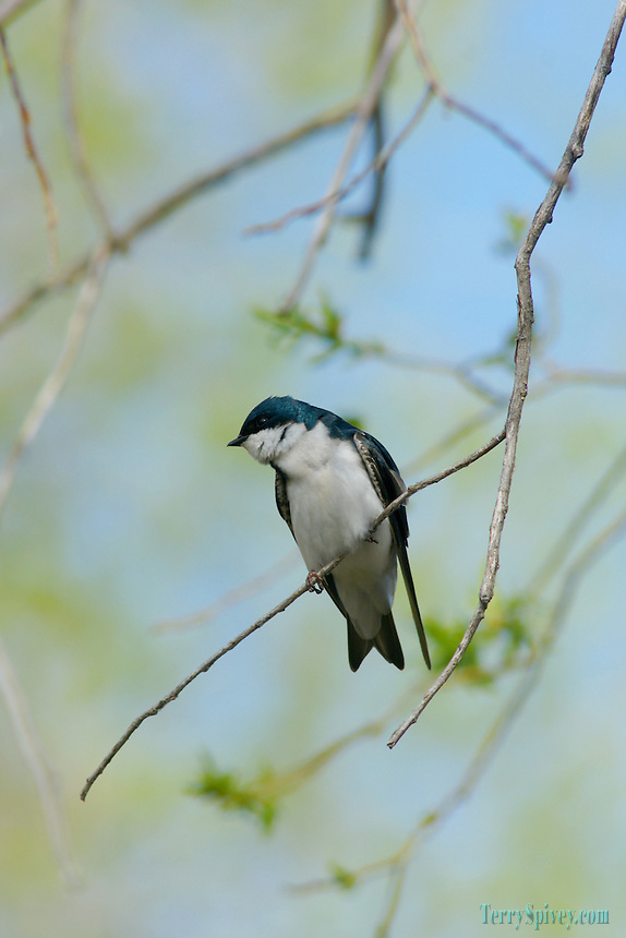 SONY DSC Tree Swallow