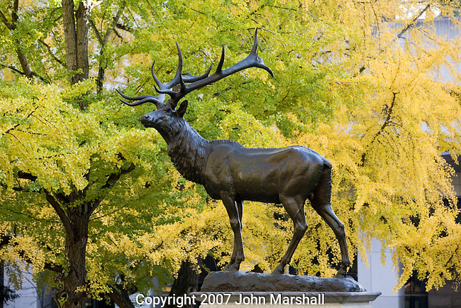 35mm Canon EOS Digital Capture.Elk statue in Park Blocks of downtown Portland, Oregon.  Ginkgo tree in background..Donated in 1900 by David Thompson, an early Portland resident..Ginkgo trees in fall color.