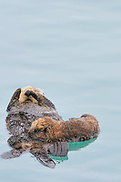 Alaskan or Northern Sea Otter (Enhydra lutris) nursing baby/pup while she rests.