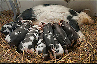 BNPS.co.uk (01202) 558833<br /> Picture: Alex Newstead<br /> <br /> Daisy's first litter of 11 pigs was born in February this year. <br /> <br /> Daisy the hardy sow is taking a well earned rest after giving birth to an incredible 27 piglets the space of nine months.<br /> <br /> The Kunekune pig previously produced a litter of 11 babies at a children's activity farm when Charlie the randy boar escaped from his pen at night and snuck into her enclosure.<br /> <br /> Four months on from that amorous evening and Daisy has given birth to a whopping 16 more piglets at the Farmer Palmer's Farm Park near Wareham, Dorset.