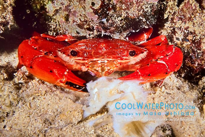red swimming crab, Charybdis paucidentata, feeding on carcass at night, Kona Coast, Big Island, Hawaii, USA, Pacific Ocean
