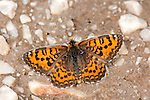 Spotted fritillary Butterfly, Melitaea didyma, Lesvos Island Greece  , lesbos