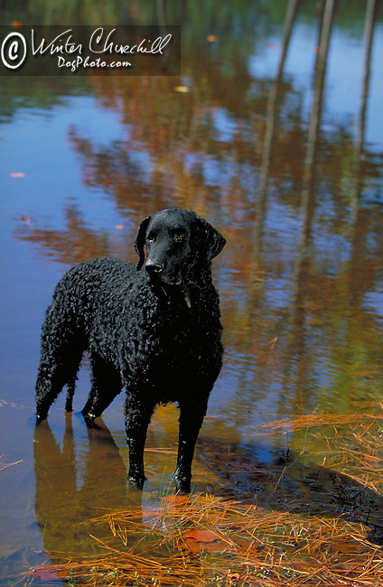 Curly Coated Retriever<br />