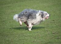 Bearded Collie sheepdog running.