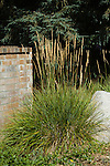 CALAMAGROSTIS X ACUTIFLORA 'KARL FOERSTER', FEATHER REED GRASS