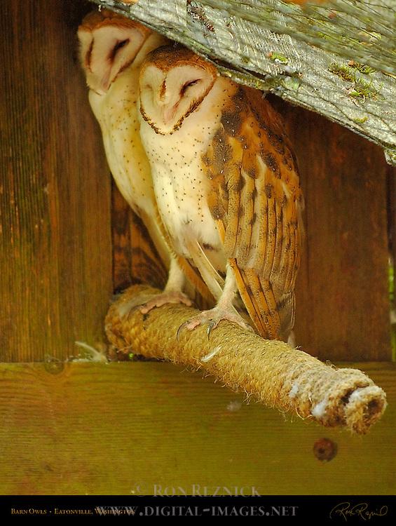 Barn Owl, Screech Owl, Eatonville, Washington
