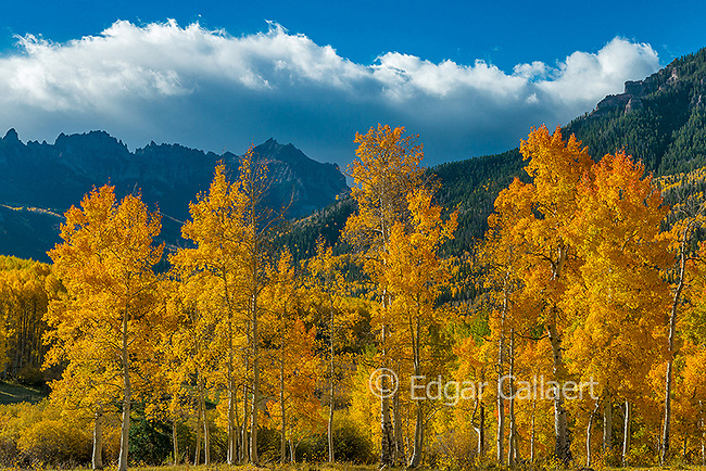 Aspens, Populus Tremula, Precipice Peak, Uncompahgre National Forest, Colorado