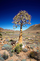 Quiver Trees at Goegap Nature and Wildflower Reserve, Namaqualand, South Africa
