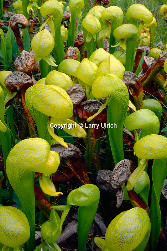 California pitcher plant<br /> Kalmiopsis Wilderness<br /> Siskiyou National Forest<br /> Oregon