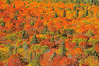 Mixedwood forest of evergreen and maple trees in autumn color. Montreal River hill.<br /> <br /> North Shore of Lake Superior, just south of Lake Superior Provincial Park<br /> Ontario<br /> Canada