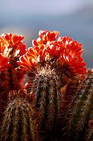 Detail close up of backlit Claret-cup Hedgehog cactus (Echinocereus trilochidiatus)in full bloom. Arizona.