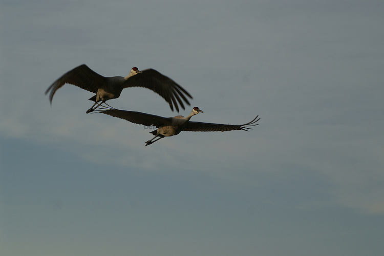 A pair of sandhill cranes make a short hop to another feeding area.