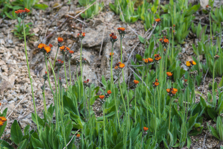Oranje havikskruid (Hieracium aurantiacum)