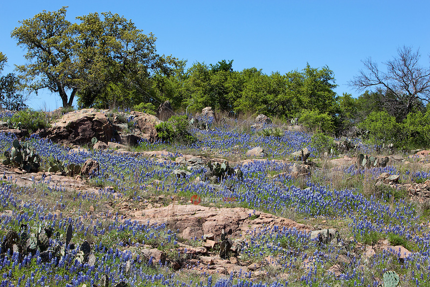 Bluebonnets grow along pink granite in the Texas Hill Country