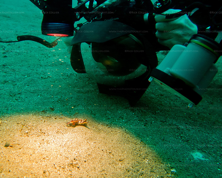 "My dive buddy approaches a flamboyant cuttlefish (""Pfeffer's Flamboyant Cuttlefish,"" <em>Metasepia pfefferi</em>) on the sandy bottom of the Lembeh Strait.  The cuttlefish is that tiny little lump, surrounded and dwarfed by camera lens, lights and strobes.  We came across a number of flamboyant cuttlefish in the sand along the bottom of the Lembeh Strait.  This is a very small beastie; the ones we saw were between two and four inches (say, about 5 to 10 cm) long, including tentacles.  Normally its coloration is very drab -- dull shades of brown, looking like a rock on the sandy bottom where it lives, ""walking"" around the bottom using its lower arms (tentacles).  But it adopts bright, almost pulsating shades of red, purple, and pink with that distinctive yellow border when disturbed (for instance, by a hulking diver shoving a large camera lens into its ""face"")."