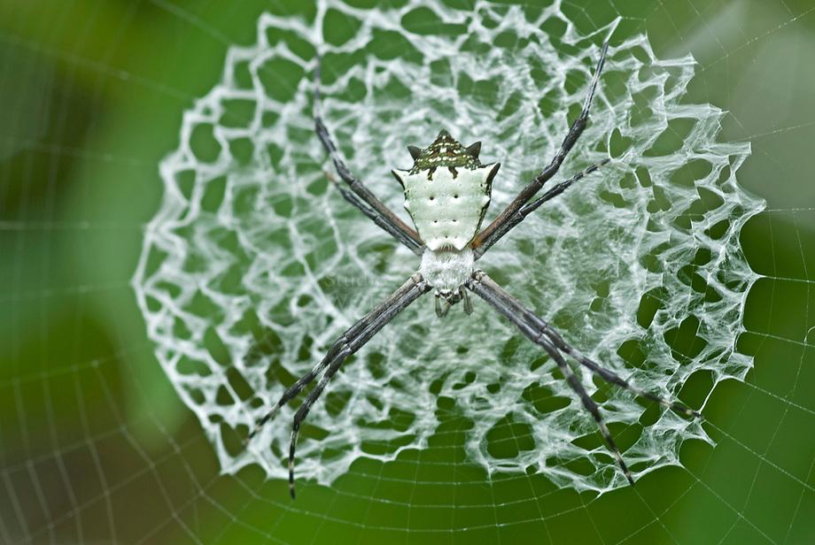Orb-weaver Spin (Argiope savignyi) op zijn web