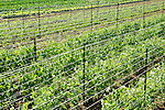 Field of vegetables and farm. Nippenose Valley. Young peas and support system.