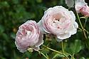 Rosa Heritage ('Ausblush'), late August.