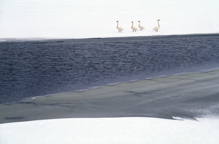 As winter slowly freezes the high waterways of the Rocky Mountains, trumpeter swans begin to congregate on the few remaining open ponds in Yellowstone National Park, Wyoming.