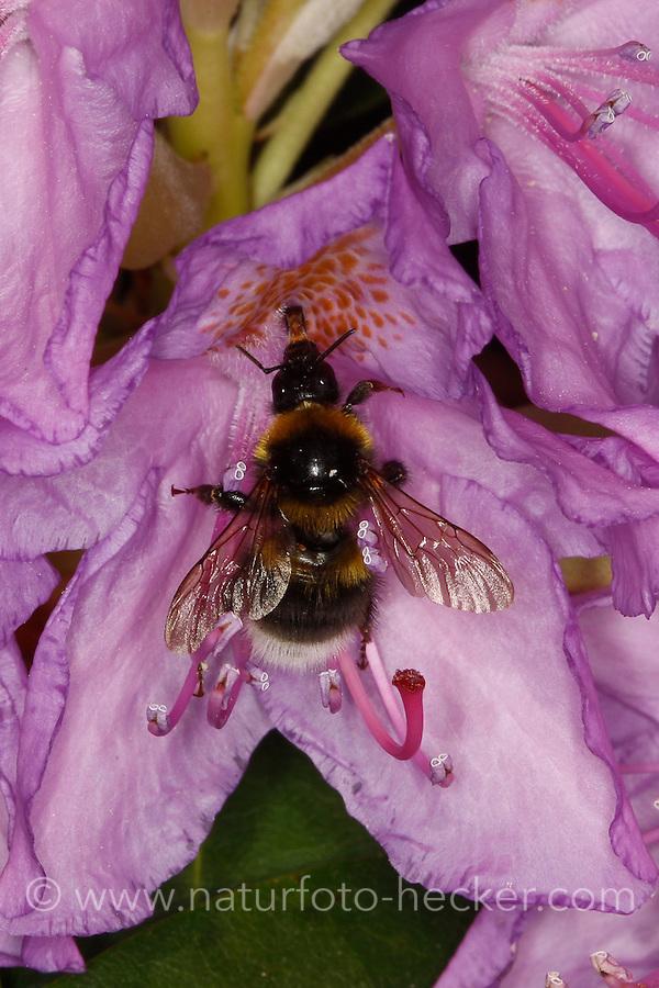 Gartenhummel, Bombus hortorum, Megabombus hortorum, beim Blütenbesuch auf Rhododendron, Nektarsuche, Bestäubung, small garden bumble bee