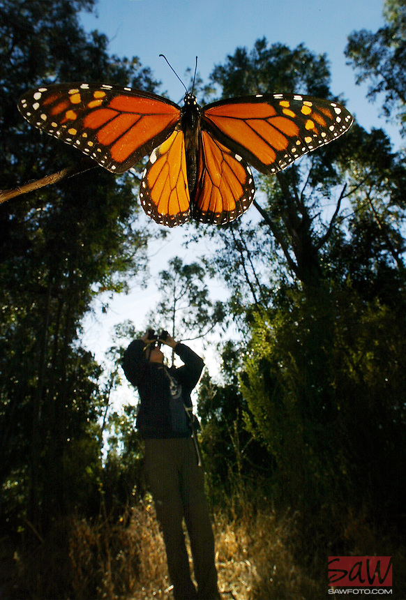 On a cold November morning, a monarch butterfly resting near the ground, waiting for the sun to warm it enough to fly, is help by photographer for a closer look as Big Sur Ornithology Lab researchers (background) count Monarchs by the thousands in eucalyptus grove where Monarchs regularly overwinter. The monarchs that overwinter in California and the people who watch them. A second wave of researchers are taking to the eucalyptus and pine groves of California to gather data on the monarch butterflies and what they do once they reach their sites for the winter.