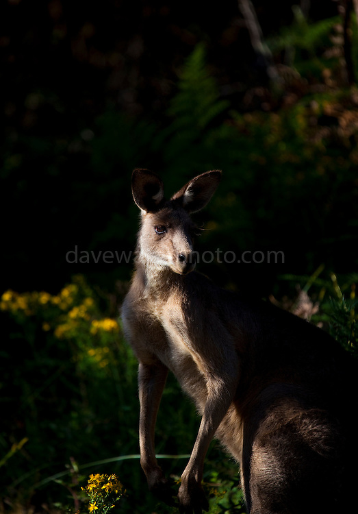 Large male Eastern Grey Kangaroo, at Tom Groggins, Mount Kosciuszko National Park