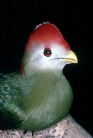 TROPICAL BIRDS<br /> Red Crested Turaco.(Tauraco erythrolophus)