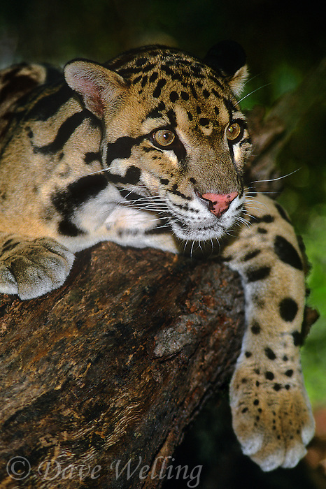 654344002 a captive wildlife rescue clouded leopard neofelis nebulosa lays on a large log at a wildlife rescue facility - species is native to central asia and is highly endangered
