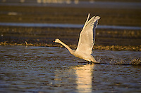 Tundra swan or whistling swan (Cygnus columbianus), Winter, Pacific Northwest.