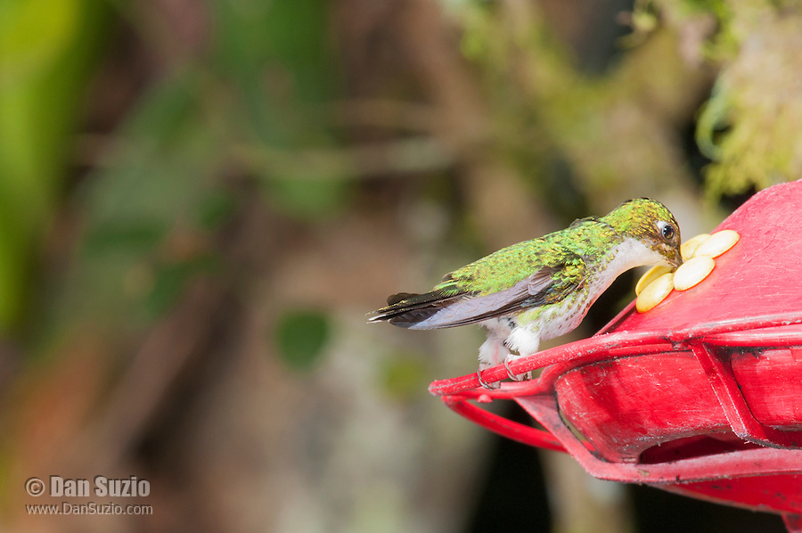 Female booted racket-tail, Ocreatus underwoodii, drinking from a feeder at San Jorge Eco-Lodge, Tandayapa Valley, Ecuador