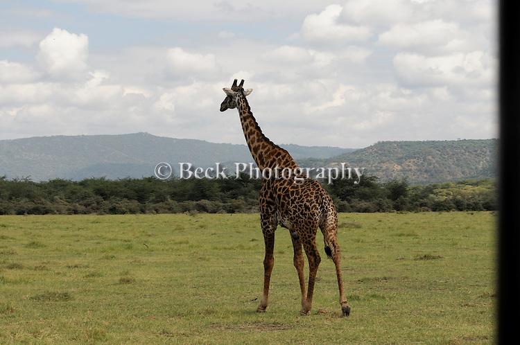 A Maasai giraffe