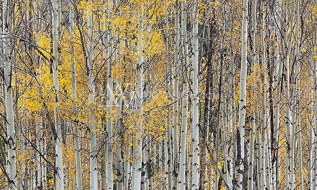 Aspens were peaking in Yellowstone and the Tetons.