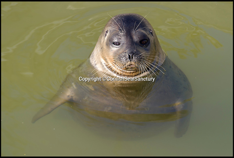 BNPS.co.uk (01202 558833)<br /> Pic: CornishSealSanctury/BNPS<br /> <br /> A plucky seal pup usually found in the Arctic Circle has been recorded in the English Channel for the first ever time after straying 3,000 miles off course.<br /> <br /> The young mammal was at first mistaken for a native common seal when it was rescued from mudflats near Plymouth, Devon. It was malnourished and had wounds on its tail, flippers and jaw.<br /> <br /> But a closer examination has confirmed it to be a female ringed seal which live in the icy waters of the Arctic and spend their days negotiating ice floes, pack ice and polar bears.