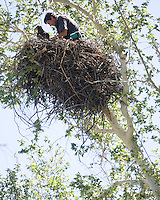 Arizona Game and Fish eagle biologist Kyle McCarty sits in a eagle nest while catching two baby bald eagle. The eagles were lowered to the ground where they were tagged and measured before being put back into their nest along the Rio Verde River. (Pat Shannahan/ The Arizona Republic)