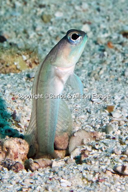 Opistognathus lonchurus, Mustache jawfish, Florida Keys