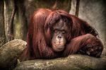 An Urangutang in a zoo looking dejected