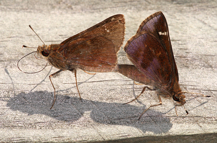 Clouded Skippers (Lerema accius) mating.