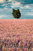 Tom Mackie, LANDSCAPES, LANDSCHAFTEN, PAISAJES, photos,+Europa, Europe, European, France, Plateau de Valensole, Provence, Tom Mackie, clary sage, french, lone tree, pink, portrait,+scenic, single, tree, trees, upright, vertical,Europa, Europe, European, France, Plateau de Valensole, Provence, Tom Mackie,+clary sage, french, lone tree, pink, portrait, scenic, single, tree, trees, upright, vertical++,GBTM180314-1,#l#, EVERYDAY