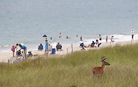A dear walks by the beach in Ocean Beach in Fire Island, NY, Wednesday August 3, 2011.