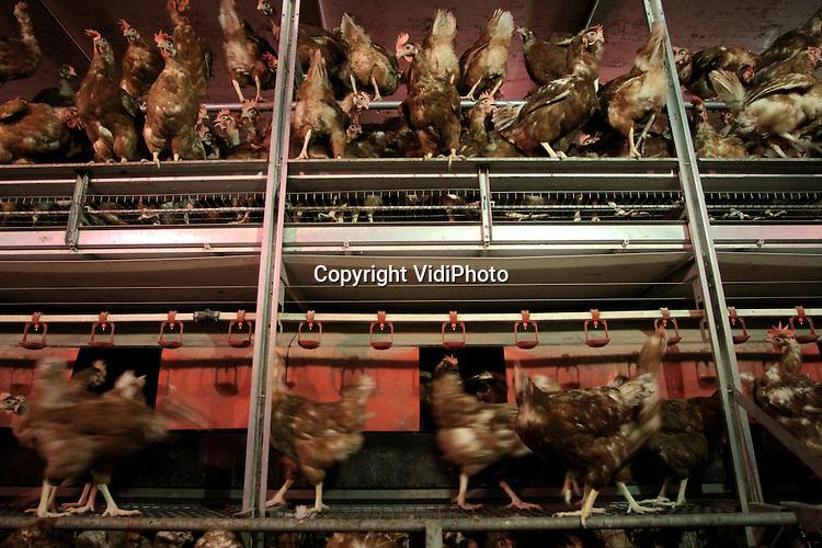 """Foto: VidiPhoto..RANDWIJK - Bij het biologische legpluimveebedrijf van Geurt van Manen uit Randwijk kunnen de kippen de boom in. Van Manen heeft één van de diervriendelijkste kippenstallen van Nederland. De super-scharrelstal van Van Manen heeft het """"Beter Leven""""-kenmerk van de Dierenbescherming en het bijbehorende """"scharrelei-nieuwe- stijl"""" heeft drie sterren; het hoogst haalbare op het gebied van dierenwelzijn. De kippen hebben onder meer een vrije uitloop in een speciaal daarvoor ingericht weiland met fruitboompjes."""