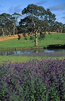 Océanie/Australie/South Australia/Australie Méridionale/Clare Valley/Env. de Sevenhill: Eucalyptus et pâturages