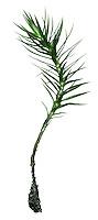 Common Haircap - Polytrichum commune