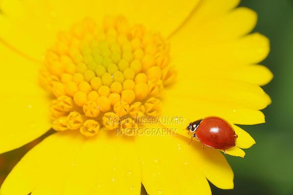 Ladybug Beetle (Coccinellidae), adult on Huisache Daisy (Amblyolepis setigera), Fennessey Ranch, Refugio, Coastal Bend, Texas Coast, USA