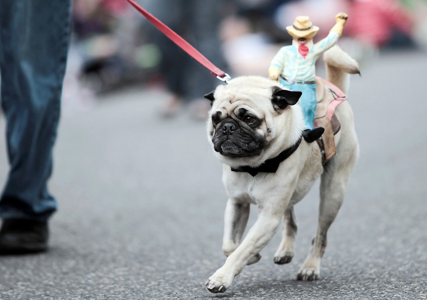 Hank walks the runway, dressed as a horse in the Parade of Pugs. The event is the largest gathering of pugs on the West Coast, attracting an estimated 500 dogs and nearly 1,000 people.