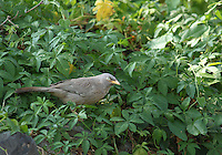 Large grey babbler sitting in the bushes in forest