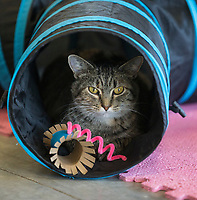 NWA Democrat-Gazette/BEN GOFF @NWABENGOFF<br /> Cats play Saturday, Oct. 5, 2019, at Purr Catfe in Fayetteville. The non-profit is open for 'Purr Therapy' visits and all the cats are available for adoption.
