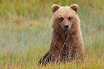Brown bear, Lake Clark National Park, Alaska, USA
