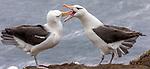 Falkland Islands / Islas Malvinas (British Overseas Territory), black-browed albatross (Thalassarche melanophris)