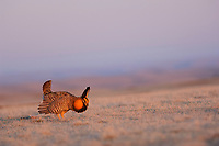 A lone male Greater Prairie-Chicken booming on a vanishing lek. Ft. Pierre National Grassland, South Dakota.