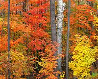 Hillside in fall color near Paradox Lake; Adirondack and Preserve, NY